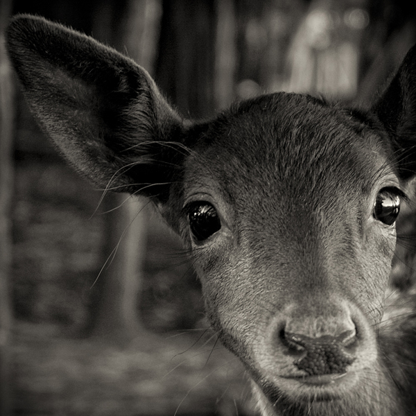 , 'Inquisitive Fawn,' 2004, Weston Gallery