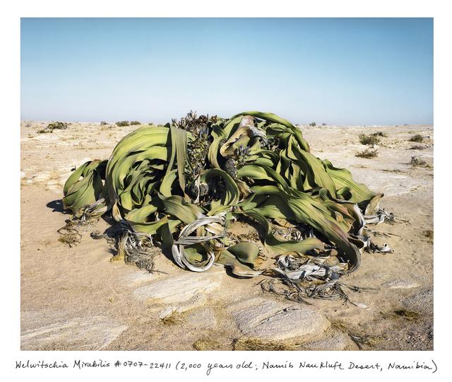 , 'Welwitschia Mirabilis #0707-22411 (2,000 years old; Namib Naukluft Desert, Namibia) ,' 2007, Sapar Contemporary