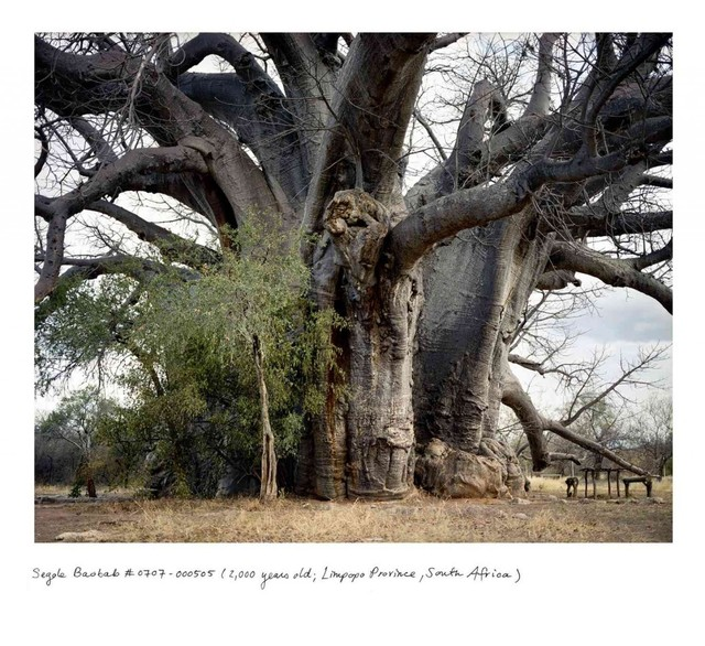 , 'Segole Baobab #0707-000505 (2,000 years old;  Limpopo Province, South Africa),' 2007, Sapar Contemporary