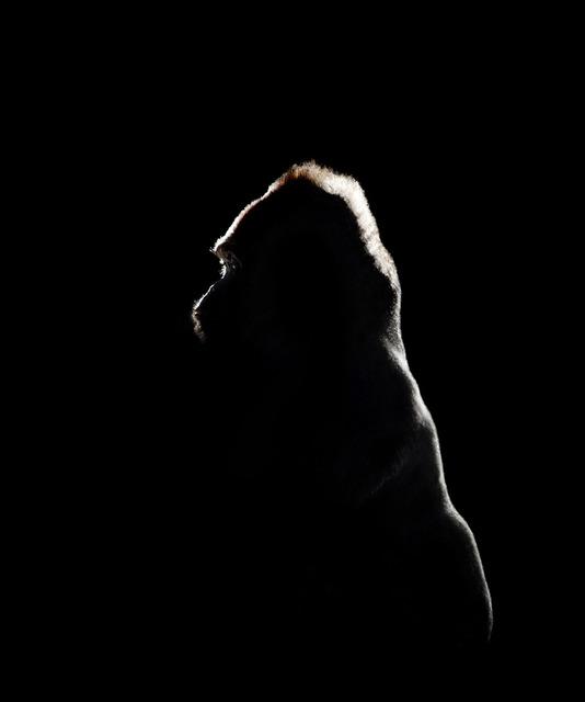 , 'Gorilla Silhouette,' 2011, Ricco/Maresca Gallery