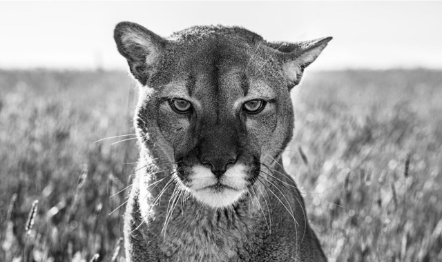 David Yarrow, 'Smokey, The Mountain Lion', 2018, Visions West Contemporary