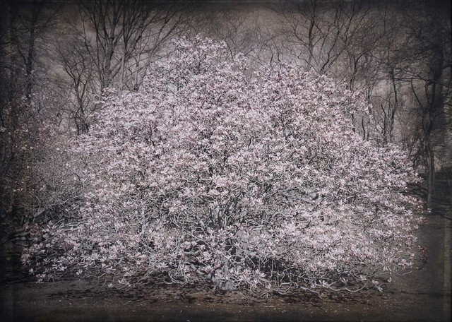 , 'Magnolia, NYC Botanical Garden,' , Etherton Gallery