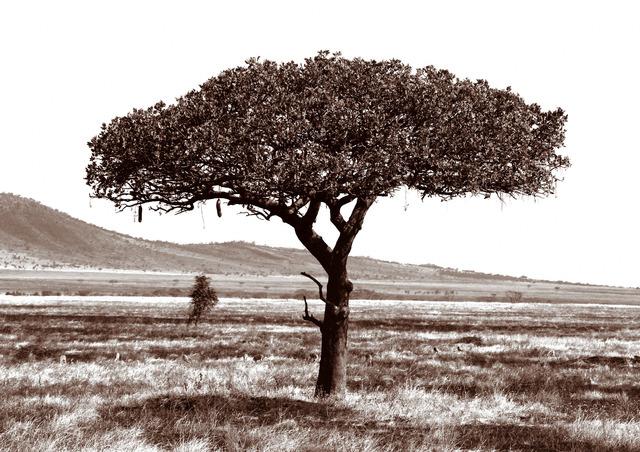 , 'Serengeti Tree #3,' 2014, Cross Mackenzie Gallery
