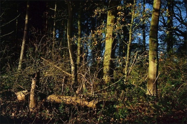 , 'Oak and Fir, Suffolk,' 2011, Osborne Samuel