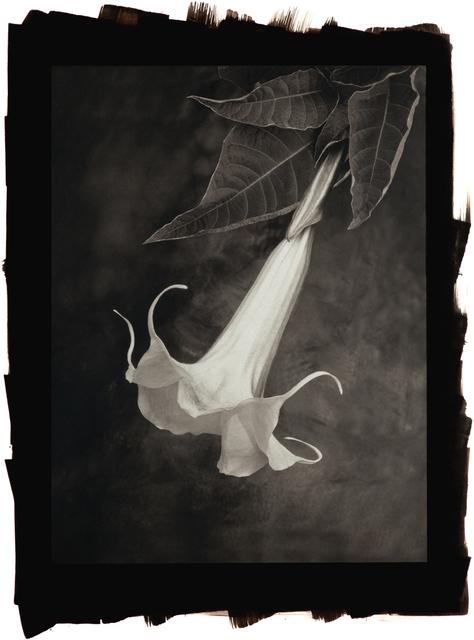 , 'Angel Trumpet (Brugmansia),' , Gallery 270