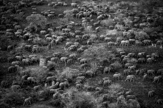 , 'One night when a herd of eight hundred elephants left the park to look for fresh food, twenty were gunned down in an ambush.  Zakouma National Park, Sarh, Moyen-Chari, Chad.,' 2006, Anastasia Photo