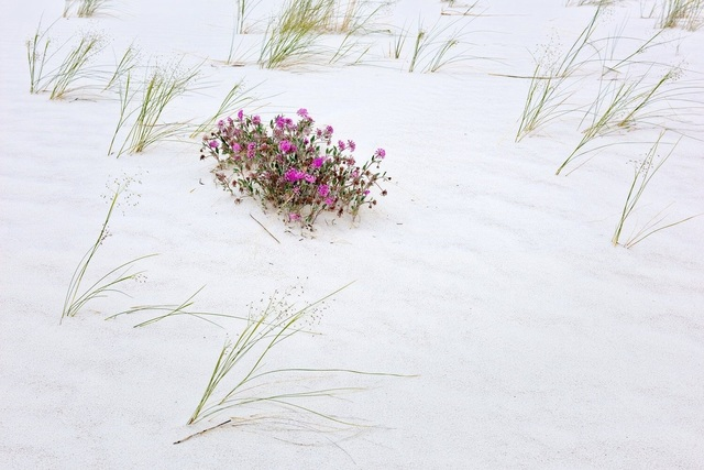 , 'Sand Verbena and Indian Rice Grass, Spring, White Sands National Monument, New Mexico,' ca. 2016, Afterimage Gallery