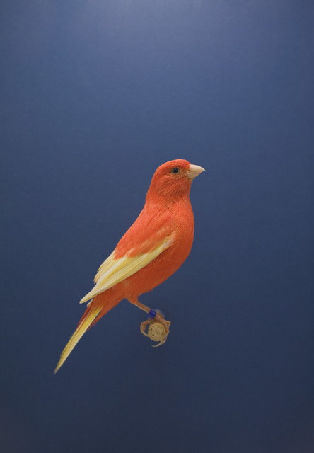 Luke Stephenson, 'Red Canary #2, from The Incomplete Dictionary of Show Birds', 2009, The Photographers' Gallery | Print Sales