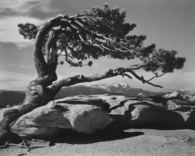 Ansel Adams, 'Jeffrey Pine, Sentinel Dome, Yosemite National Park', 1940, G. Gibson Gallery