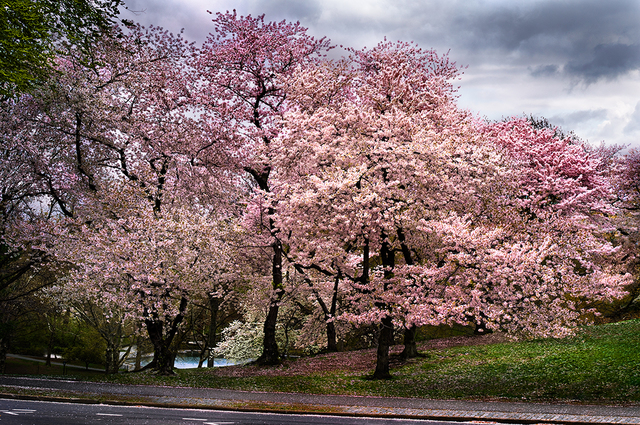 David Drebin, 'Cherry Blossoms', CHROMA GALLERY
