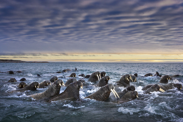 , 'Tusked Titans,' , Paul Nicklen Gallery