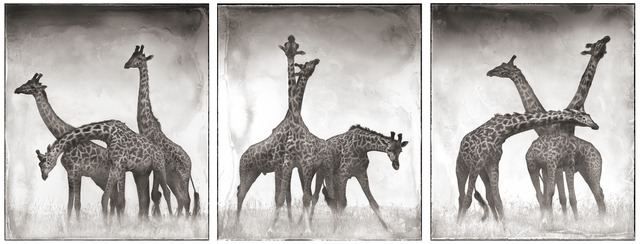 Nick Brandt, 'Giraffe Triptych, Maasai Mara, 2005', 2005, photo-eye Gallery