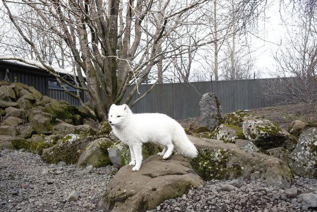 , 'Arctic Fox, ReykjaviÍk,' 2011, Robert Mann Gallery