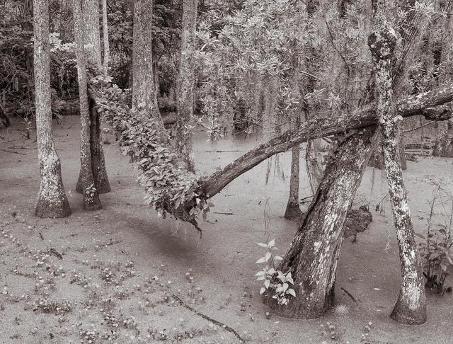 , 'Audubon Swamp, Charleston, South Carolina,' , Soho Photo Gallery