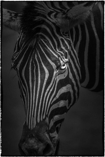 , 'Chapman's Zebra,' 2010, AN INC.
