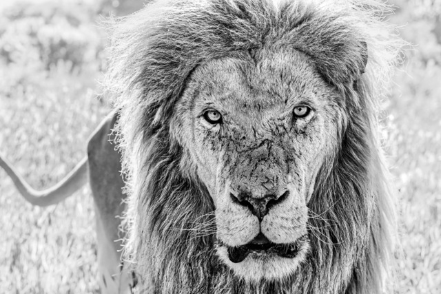 David Yarrow, 'Scarface', 2020, Photography, Archival Pigment Print, Maddox Gallery