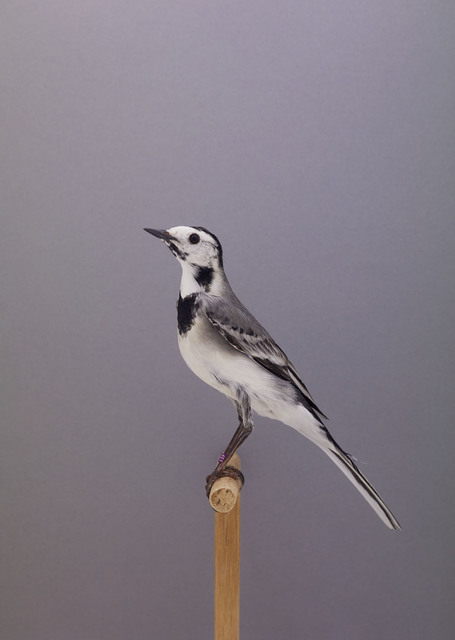 , 'White Wagtail #1,' ca. 2016, The Photographers' Gallery