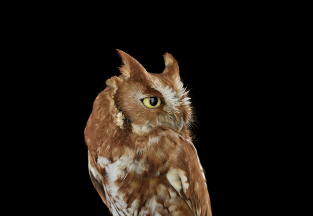 , 'Eastern Screech Owl #2, St. Louis, MO,' 2012, photo-eye Gallery
