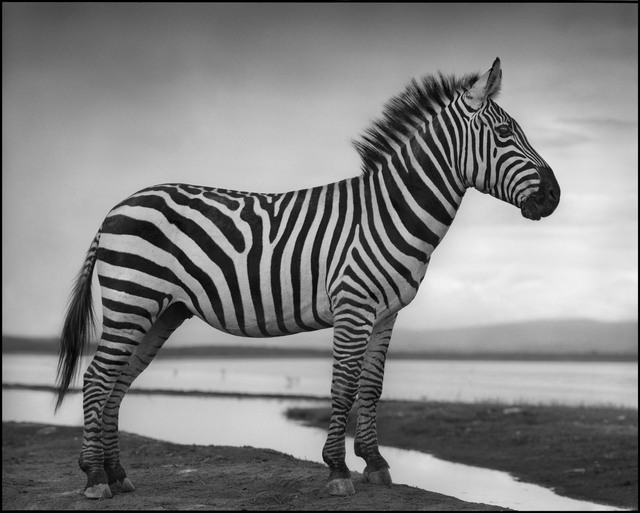 , 'Zebra by Lake,' 2010, Edwynn Houk Gallery