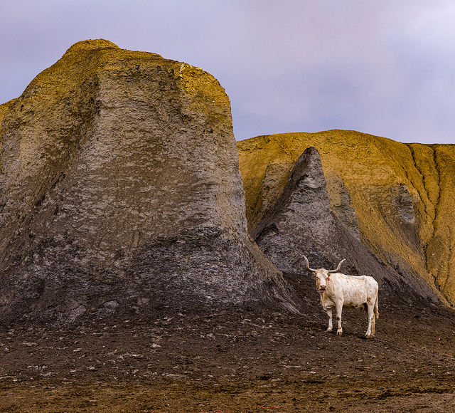 Alan Montgomery, 'White Cow', 2018, Foto Relevance