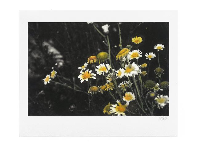 , 'The Circadian Clock: Crown Daisy (II) no.2,' 2018, Blindspot Gallery