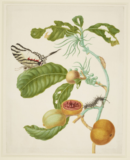 , 'Branch of Duroia eriopila with Zebra Swallowtail Butterfly,' 1702-1703, Royal Collection Trust