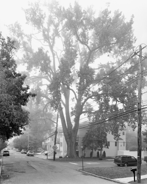 , 'Eastern Cottonwood, Sprague Avenue, Staten Island II ,' 2011, Galerie Les filles du calvaire