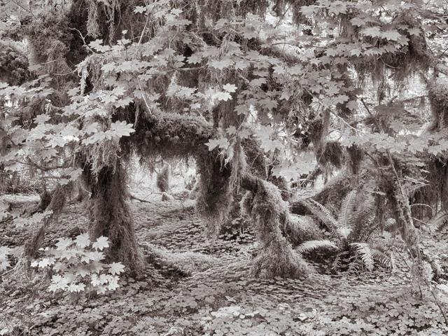 , 'Luxuriant Growth, Hoh Rainforest, Washington,' , Soho Photo Gallery