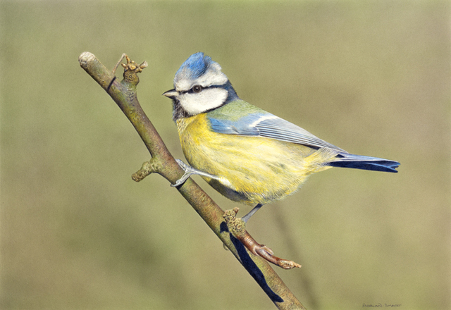 Adrian Smart, 'Bluetit', Drawing, Collage or other Work on Paper, Watercolour on board, Plus One Gallery
