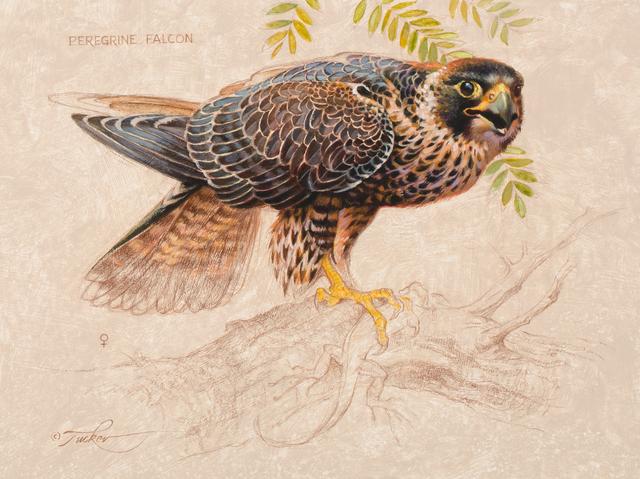 , 'Peregrine Falcon - Female,' , Trailside Galleries