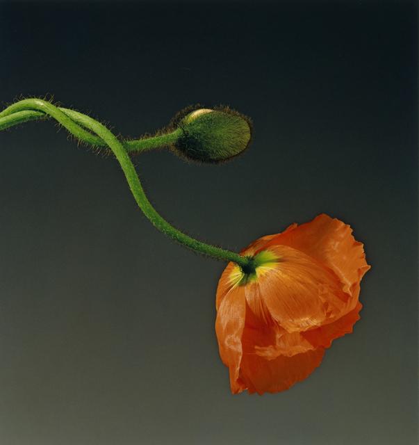 , 'Poppy,' 1988, Montreal Museum of Fine Arts