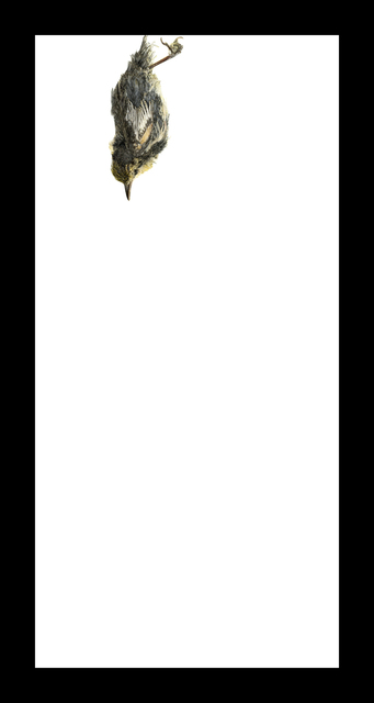 , 'Blackpoll Warbler,' 2017, Corkin Gallery