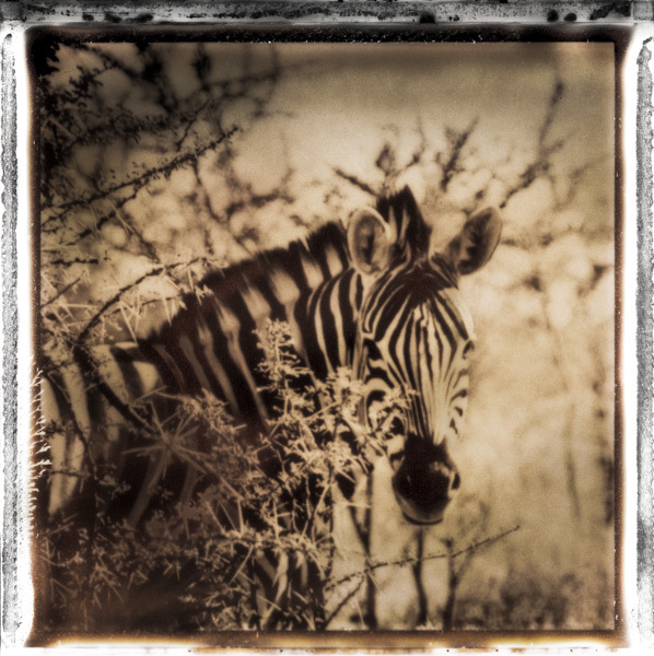 Burchell's Zebra, Namibia, 2010 by Frank af Petersens