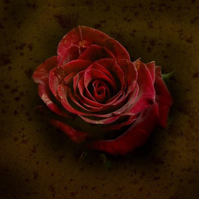 Jack Spencer, 'Rose #2 3/5', Gail Severn Gallery