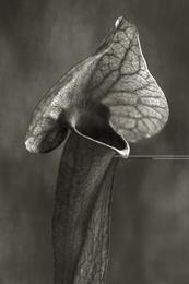 Trumpet Plant