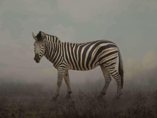 , 'Stella, Chapman's zebra,' 2016, ILEX Gallery
