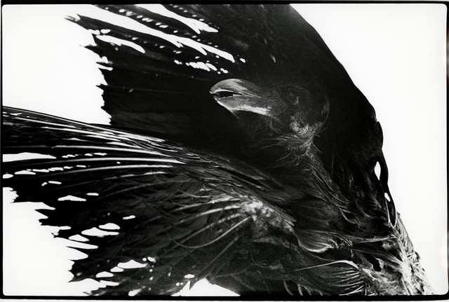 , 'Untitled, Ravens,' , Michael Hoppen Gallery