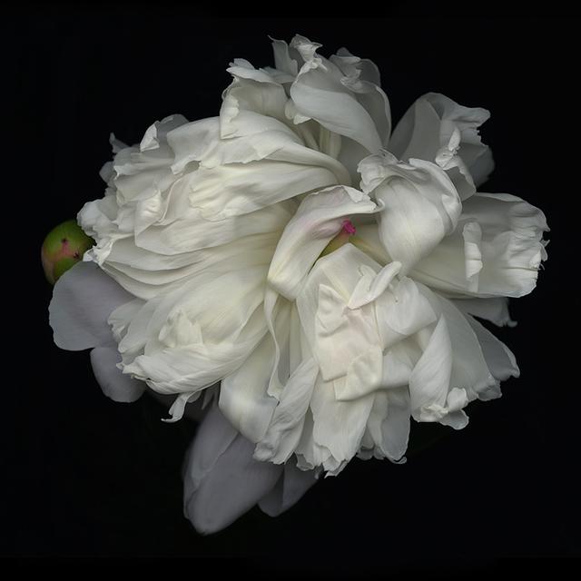 , 'White Peony,' 2010, Panopticon Gallery