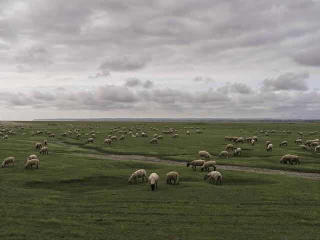 , '207 ovelhas na Normandia,' 2016, Fotospot
