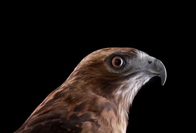 Brad Wilson, 'Red Tailed Hawk #1, Espanola, NM', 2011, photo-eye Gallery