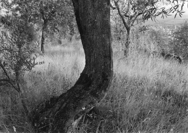 , 'Tuscan Trees #38,' 1998, Wirtz Art