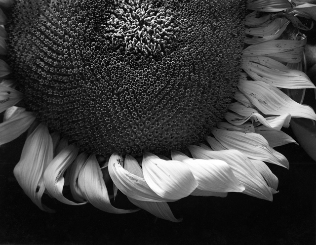 , 'Sunflower, Winthrop, MA,' 1965, Photography West Gallery