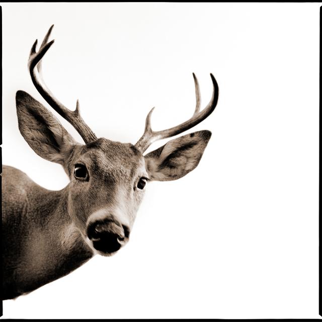 Nine Francois, 'Deer II', Weston Gallery