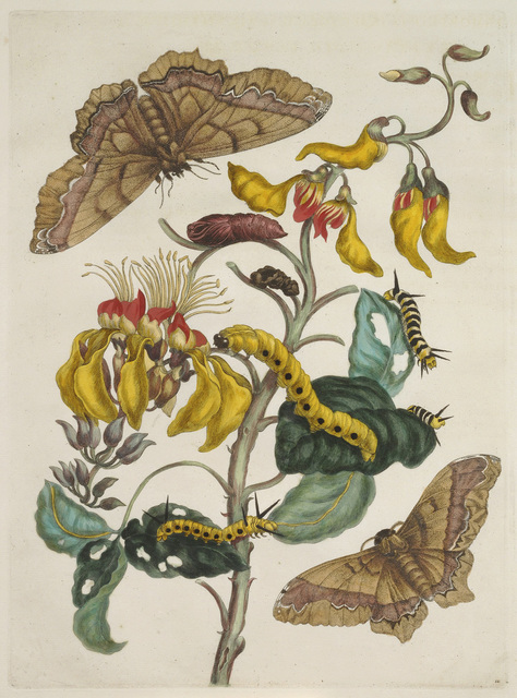 , 'Plate 11 from Dissertation in Insect Generations and Metamorphosis in Surinam,' 1719, National Museum of Women in the Arts