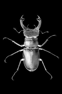 """, 'Stag Beetle """"Love Warrior"""" 2010 (Lucanus Cervus),' , Macaya Gallery"""