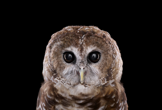 Brad Wilson, 'Mexican Spotted Owl #1, Espanola, NM ', 2011, photo-eye Gallery
