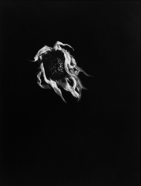 , 'Dried Sunflower #19, Connecticut 1970,' 1970, Vision Neil Folberg Gallery