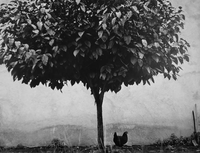 , 'L'arbre et la Poule, Pau, France,' 1950, Afterimage Gallery