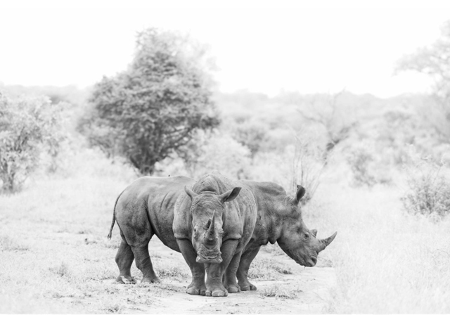 Adrian Steirn, 'Rhino Crash', ARTsouthAFRICA