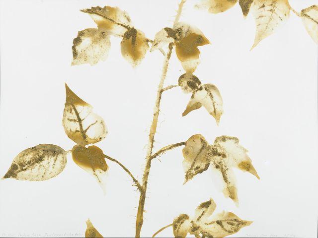 , 'Eastern Poison Ivy Toxicodendron radicans (Canarsie Pier, Brooklyn),' 2016, Salon 94